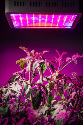 Tomatoes under LED grow lamp