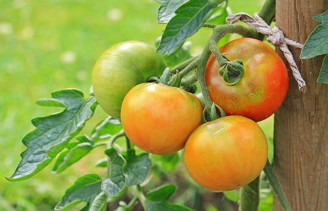 tomato growing indoors