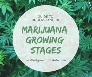 Guide to understanding marijuana growing stages